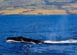 Whale head, Lahaina, Maui