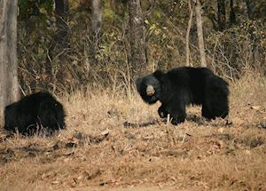 Sloth Bears, Satpura National Park