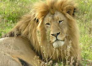Lion, Greater Kruger Park