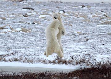 Polar bears play fighting out on the tundra near Churchill, Canada