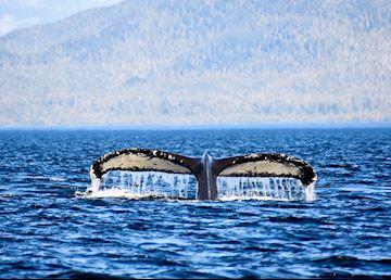 Humpback whale fluke, Princess Royal Island